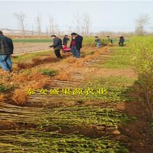 潞城哪里有3公分桃苗品种纯度图片