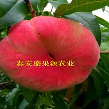 青河哪里有晚熟桃树苗价格公道图片