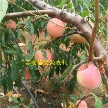 全南哪里有红桃苗基地品种纯度图片