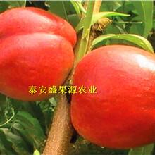赣榆哪里有中熟桃树苗种植步骤图片