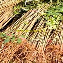 阳西香椿树苗图片繁育基地图片