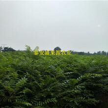 宜城红油香椿苗结果年限图片
