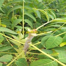 拉孜矮化香椿苗批发报价种植技术图片