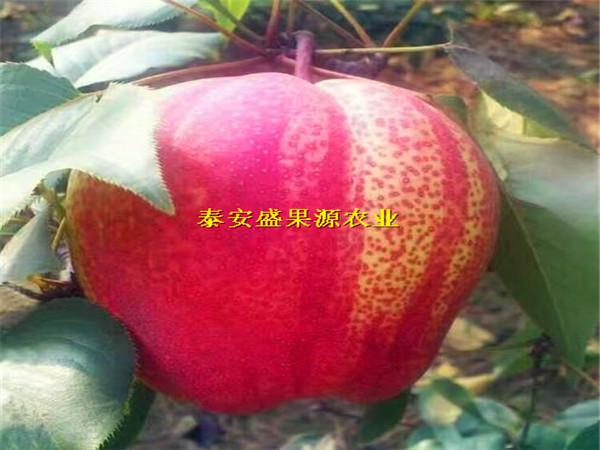 祁阳如今花椒苗报价花椒苗种植规律