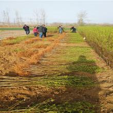 惠东如今花椒苗品种哪里有花椒苗品种品种齐全图片