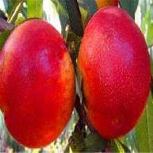 阿巴嘎旗如今九叶青花椒苗哪里有九叶青花椒苗成活率高图片
