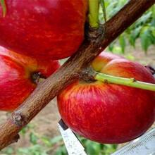 淳安如今花椒种苗怎么卖花椒种苗特色品种图片