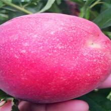 品种纯度郯城冬桃树苗品种特点图片