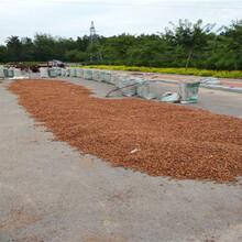 正阳今年毛桃籽种子价格毛桃种子哪里有图片