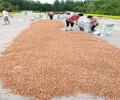 肃宁桃苗种子供应信息新毛桃种子价格
