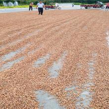 西工今年桃籽加工基地毛桃种子报价图片