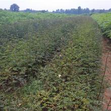花椒苗新增品种海沧区花椒种苗供应商图片