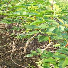 花椒苗新型种植卢龙县大棚花椒苗厂家供应图片