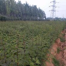 品种特点盐边县新品种梨树苗多少钱一棵图片