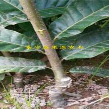 建园指导武汉新品种泰山薄壳板栗苗怎么样图片