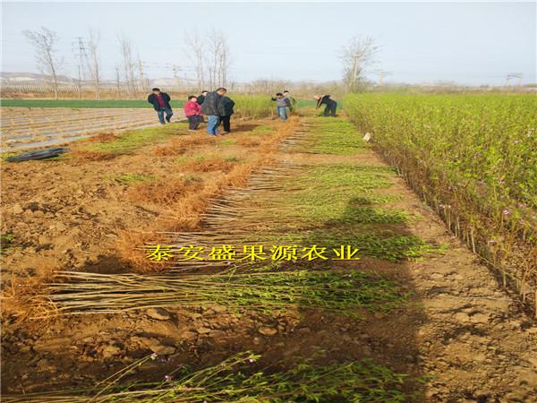 平阴县油蟠桃苗产地供应油蟠桃苗多少钱一棵