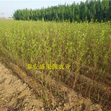 西丰县晚熟秋彤桃树苗种类繁多晚熟秋彤桃树苗厂家图片