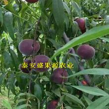 天水晚熟秋彤桃树苗纯正品种晚熟秋彤桃树苗哪里有图片