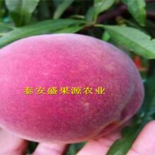 双阳区中熟桃树苗价格实惠中熟桃树苗批发图片