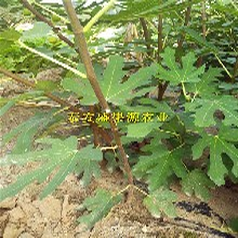 大武口这里的敖金芬无花果苗报价无花果苗品种纯正图片