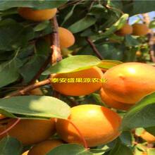 太白县盛果源油杏树苗厂家油杏树苗嫁接果的图片