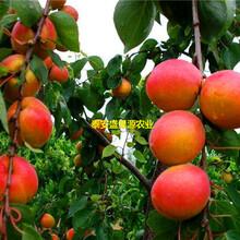 伊川县盛果源品种杏树苗价格品种杏树苗存活率高图片
