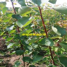 禹州盛果源1公分粗杏树苗哪里有1公分粗杏树苗种植步骤图片