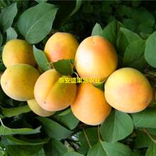 福安盛果源杏树苗怎么样杏树苗免费技术图片