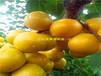 龙华区盛果源丰源红杏树苗怎么样丰源红杏树苗种类繁多