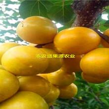 廊坊盛果源大棚王杏树苗哪里有大棚王杏树苗品种精选图片