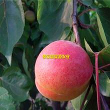 方山县盛果源油杏树苗怎么卖油杏树苗种类繁多图片