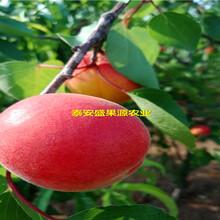 大理盛果源新品种杏树苗批发新品种杏树苗新品种图片