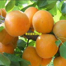 德化县盛果源新世纪杏树苗基地新世纪杏树苗产量高图片