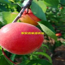 商洛盛果源极早熟杏树苗价格极早熟杏树苗果园直供图片