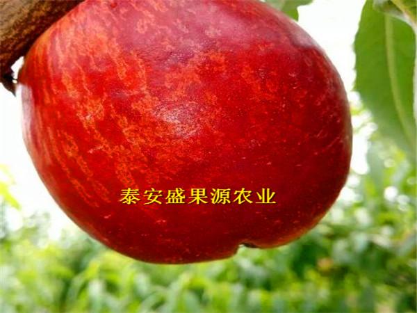 尤溪县2019年春中蟠21桃苗价格报表中蟠21桃苗基地