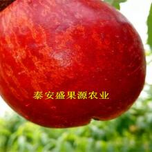 察雅县2019年春油蟠桃苗今日报价油蟠桃苗厂家图片