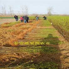 鱼台县2019年春北京14号桃树苗存活率高北京14号桃树苗厂家图片