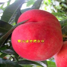 沁水县2019年春春蕾桃树苗易成活春蕾桃树苗产量高吗图片