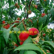 大荔县3公分粗中熟川中岛桃树种苗多少钱图片