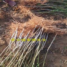 广灵县2019年春126油桃种苗现货供应126油桃种苗基地图片