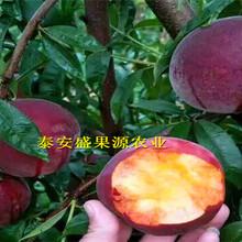 阿鲁科尔沁旗3公分粗黄金蟠桃树苗厂家图片