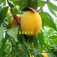 爱辉3公分粗蟠桃桃树苗价格图片