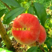 府谷县3公分粗晚熟金秋红密桃苗价格图片