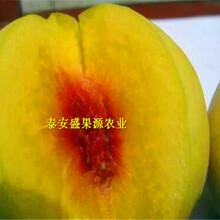 桓台县2019年春嫁接鲁红618桃苗种植规律嫁接鲁红618桃苗效益好吗图片