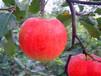 福州哪里找晚熟苹果苗批发