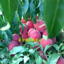 泸州购买中蟠19桃树苗果园直供图片