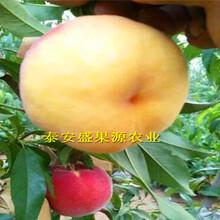 行唐县全新嫁接鲁红618桃苗品种精选图片