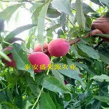 山阴县全新早熟春丽桃树苗免费技术图片