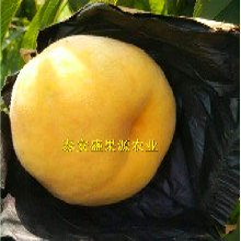 仁化县购买帅师香桃苗科学种植图片