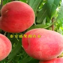 卢龙县购买北京14号桃树种苗种植规律图片